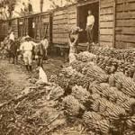 Las BANANERAS …. una Historia de Exportación con poco Desarrollo (hondureño)