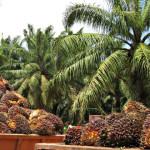 Exportandose probre? El caso de la palma africana y del café.
