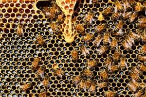 Waben von Bienen